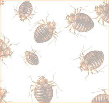 Bed Bugs Penrith